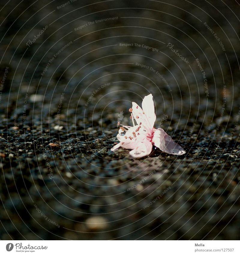 Asphaltromantik Natur Blume Einsamkeit Straße Blüte Frühling grau Traurigkeit Wege & Pfade Regen rosa Umwelt Wassertropfen nass Trauer kaputt