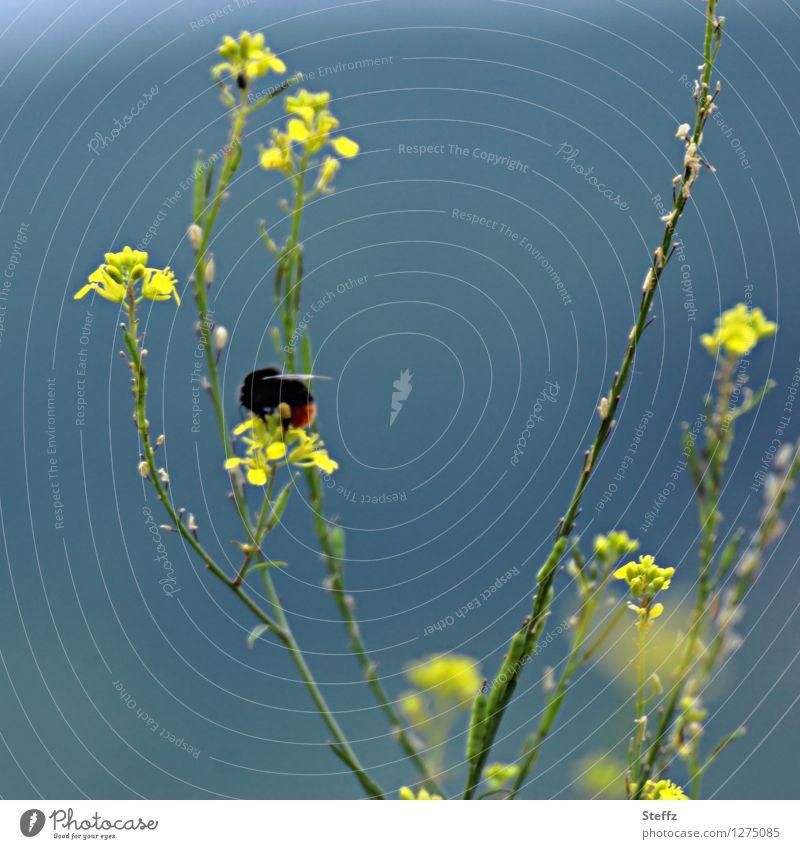 sommerliche Impression mit einem Hummel Bombus Mauerlattich Mycelis muralis heimische Wildpflanze Bestäuber bestäuben Bestäuberinsekt Idylle Hummel auf Blüte
