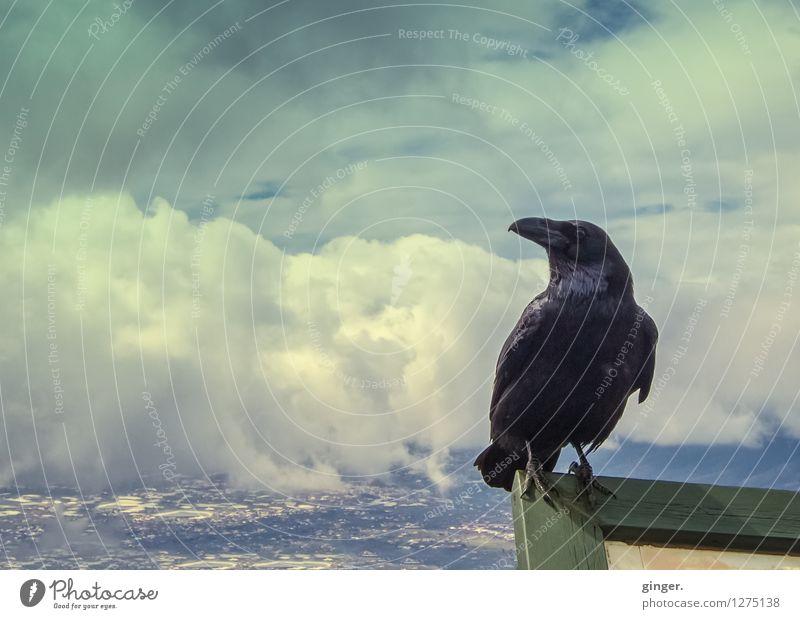 Maskottchen | Hexenschätzchen Tier Wildtier Vogel Rabenvögel 1 beobachten festhalten Blick sitzen blau Wolken Landschaft Überblick überblicken Stadt hoch oben