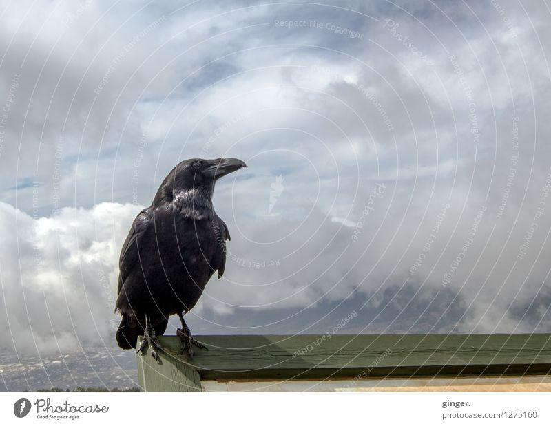 Abraxas again! Himmel Wolken Tier Vogel Tiergesicht Flügel Krallen Rabenvögel 1 Blick sitzen Feder Schnabel hoch selbstbewußt frech Wolkenhimmel Wolkenformation