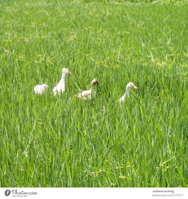 schnatternde Damen im Feld Gras Vogel grün Halm Gans Reis Reihe hintereinander Federvieh Spaziergang Außenaufnahme