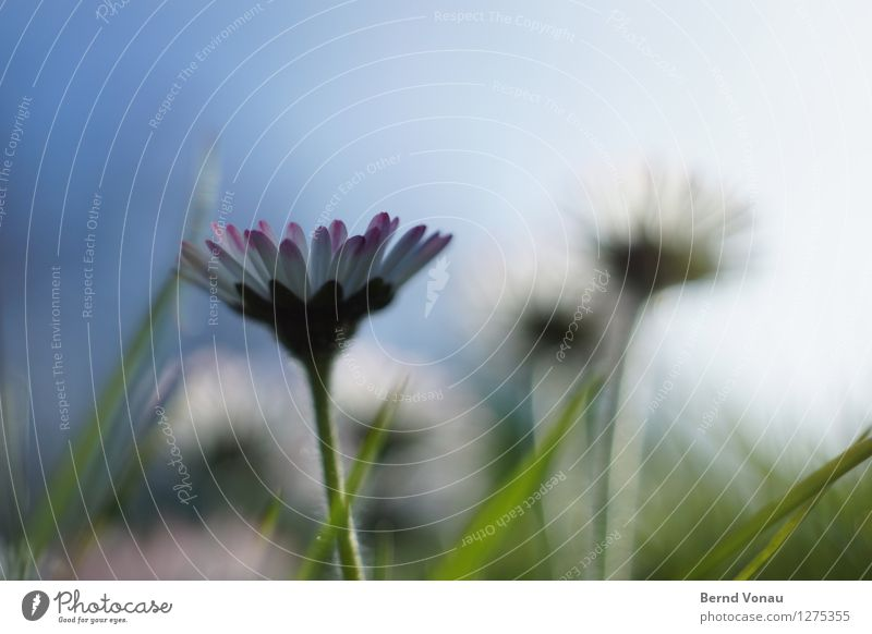 Kleiner Lichtblick Umwelt Natur Landschaft Pflanze Himmel Sonne Sommer Blume Gras hell schön grün Gänseblümchen Blüte blau Hoffnung Wachstum klein zart