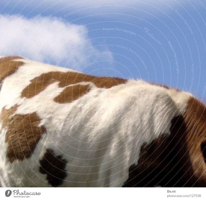 ein schöner Rücken... Himmel weiß blau Sommer Wolken Farbe braun weich Alpen Fell Kuh Weide gemütlich Fleck Säugetier