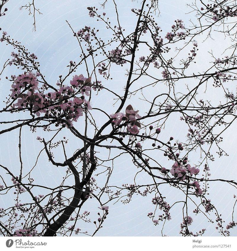 Zweige mit Blüten der Zierkirsche vor grauem Himmel Blühend Baum Frühling März April Frühblüher Geäst verzweigt mehrere lang dünn gekrümmt krumm