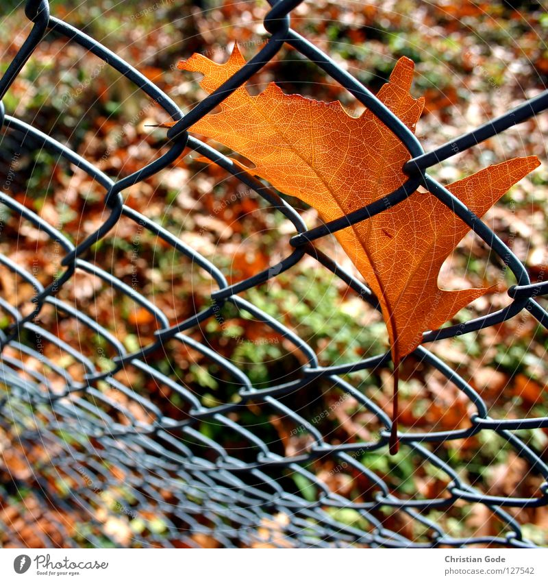 Gefangen Teil 2 Herbst Blatt Zaun braun grün Baum Maschendraht Maschendrahtzaun Jahreszeiten Sommer Winter Grenze Geborgenheit Ahorn Eiche Erlen Tennisplatz