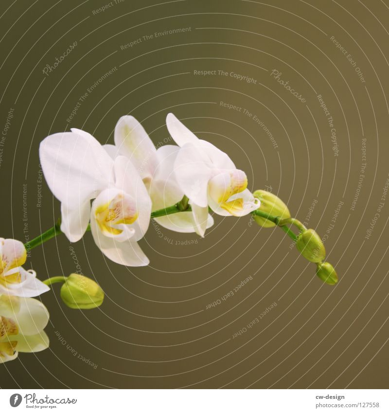 SUMM SUMM SUMM, ICH MAG BLUM Orchidee Zwitter Fensterbrett Blume Blüte weiß grün gelb rosa rot violett zart Pflanze Sommer Schmuck schön verschrumpelt hängen