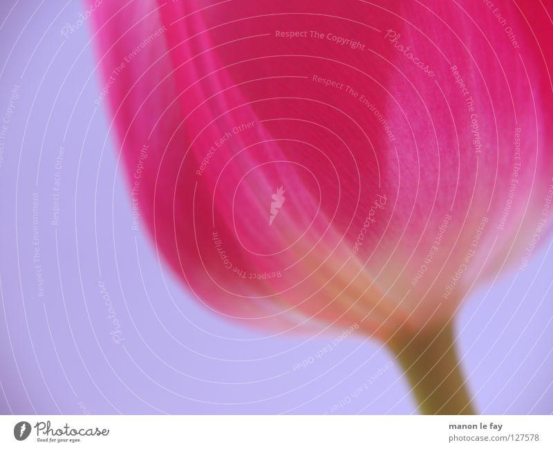 E Dulbe schön Blume blau Sommer Blüte Frühling rosa Hintergrundbild elegant violett Tulpe zerbrechlich Niederlande Blütenkelch