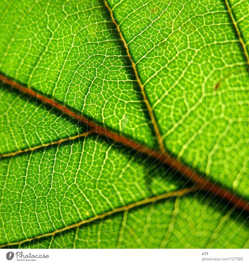 GreenLife Blatt Brombeerbusch Brombeerblätter Frühling frisch Pflanze gegen Gegenlicht Licht Gefäße grün weiß Baum faszinierend hell Arterien Muster Botanik
