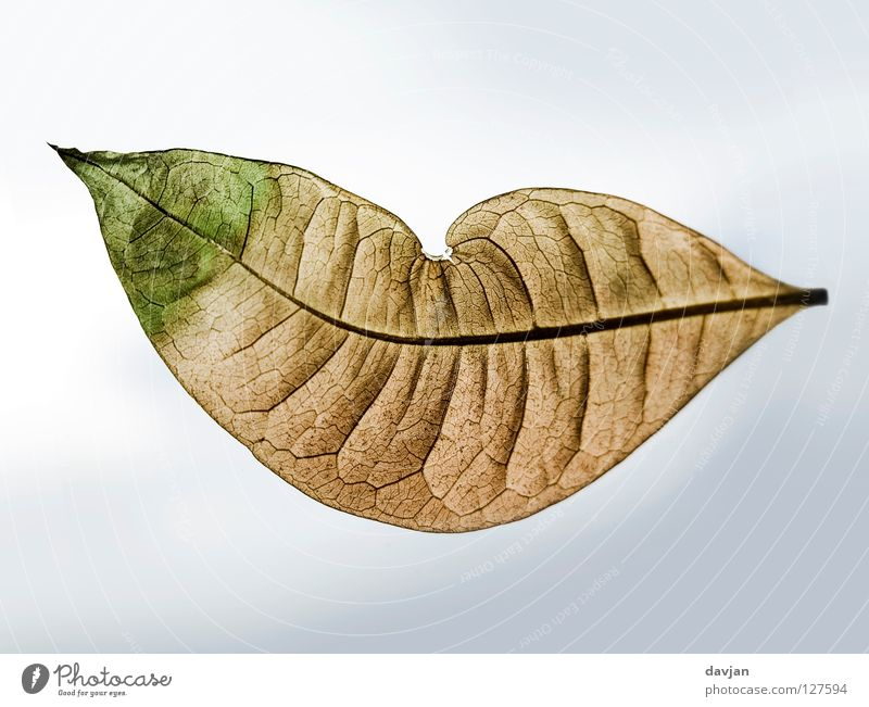 Herzblatt Himmel grün Freude Blatt braun Mund Wind Fröhlichkeit Vergänglichkeit Falte verfallen leicht beige welk luftig