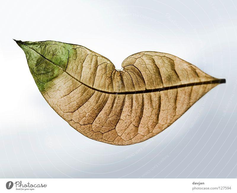 Herzblatt Himmel grün Freude Blatt braun Mund Wind Herz Fröhlichkeit Vergänglichkeit Falte verfallen leicht beige welk luftig