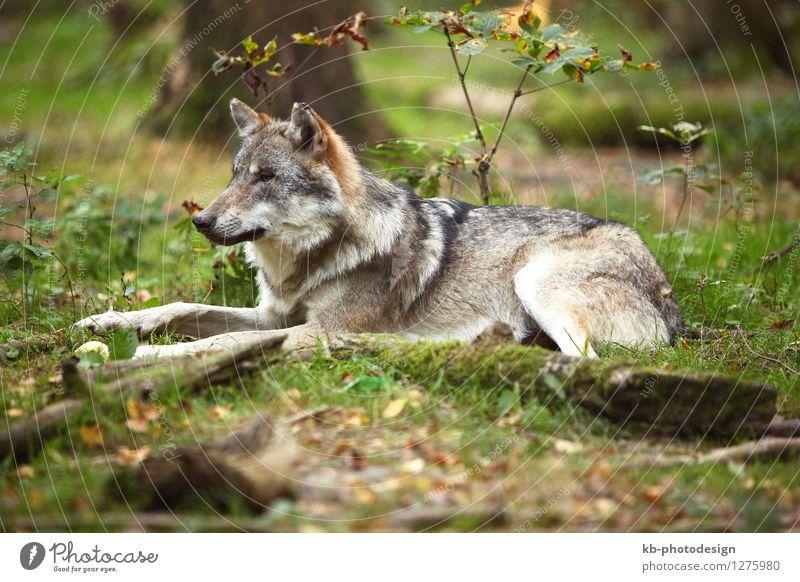 Grey wolf in a park Tier wild Wildtier Wolf
