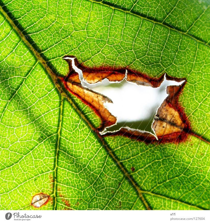 DurchBlick Blatt Brombeerbusch Brombeerblätter frisch Pflanze gegen Gegenlicht Licht Gefäße grün weiß Baum faszinierend hell Arterien Muster Botanik Leben