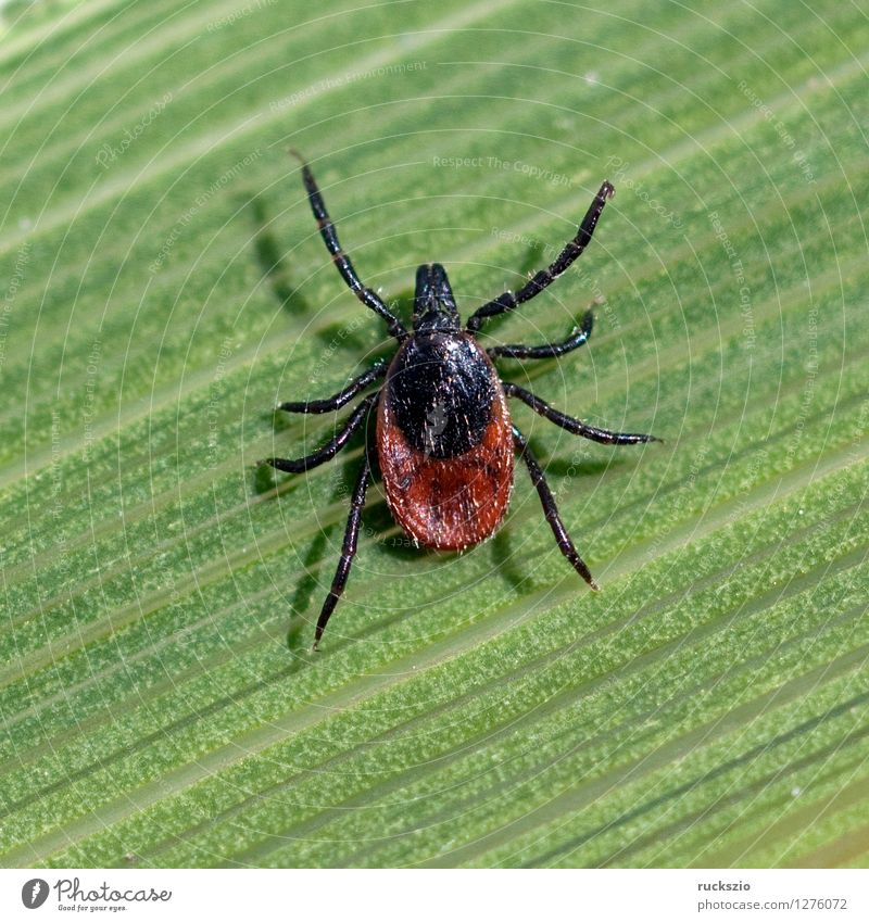 Zecke; Holzbock; Ixodes; ricinus; Natur Gras Spinne braun grün Zeckenstich blutsaugender Parasit Blutsauger Schildzecke Holzboecke Krankheitserreger DEU