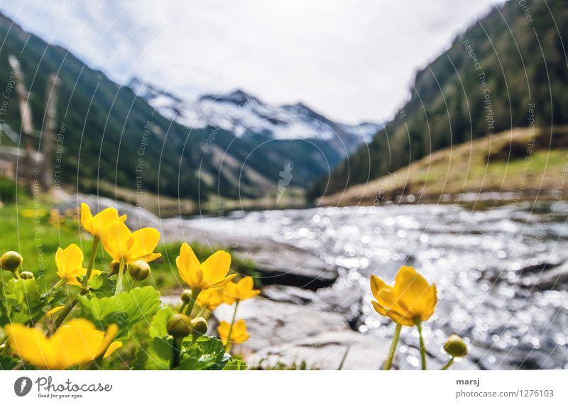 Sumpfdotterblumen am Bergsee Frühling Pflanze Blume Wildpflanze Sumpf-Dotterblumen Alpen Berge u. Gebirge Seeufer Bach Riesachsee Blühend leuchten gelb gold
