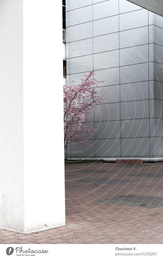 Schüchtern Umwelt Pflanze Frühling Baum Kirschbaum Kirschblüten Ast Zweige u. Äste Stadt Menschenleer Bauwerk Gebäude Bürogebäude Mauer Wand Fassade Säule Beton
