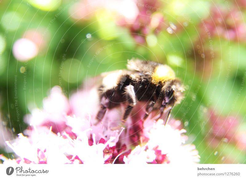staubig Natur Pflanze Tier Frühling Sommer Schönes Wetter Blume Blatt Blüte Nutzpflanze Kräuter & Gewürze Thymian Oregano Majoran Garten Park Wiese Nutztier