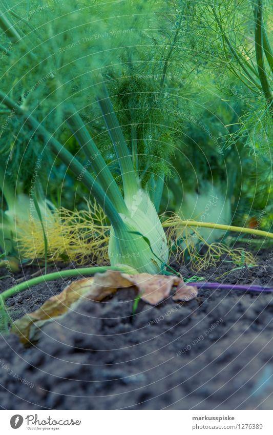 urban gardening bio fenchel Pflanze Gesunde Ernährung Leben Gesundheit Garten Lebensmittel Freizeit & Hobby Wachstum genießen berühren Kräuter & Gewürze