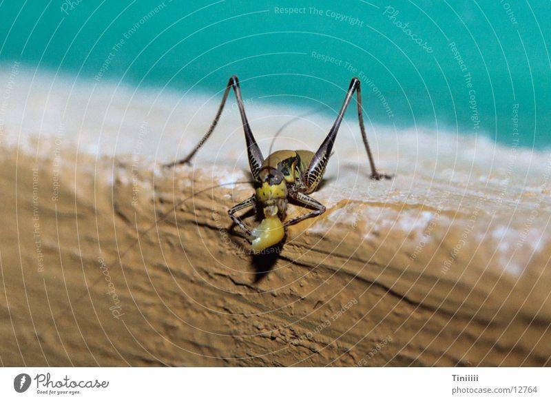Frecher Hüpfer Insekt Salto Heuschrecke Mais Maiskorn