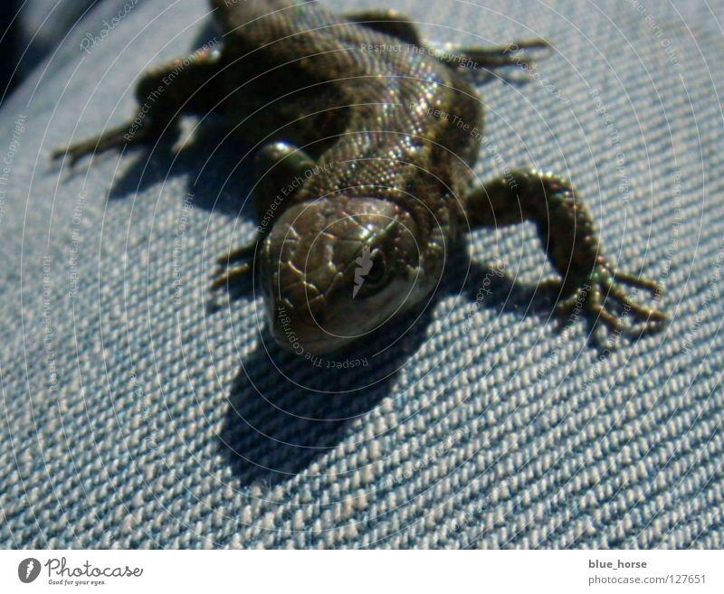 Echse schön blau Tier glänzend klein Geschwindigkeit Jeanshose Mitte Glätte Reptil Echsen