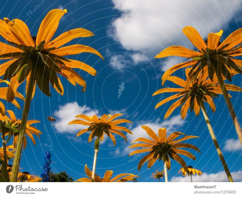 Himmelwärts Natur Pflanze Luft Wolken Sommer Schönes Wetter Blüte Roter Sonnenhut Fröhlichkeit Lebensfreude Frühlingsgefühle Optimismus schön ästhetisch