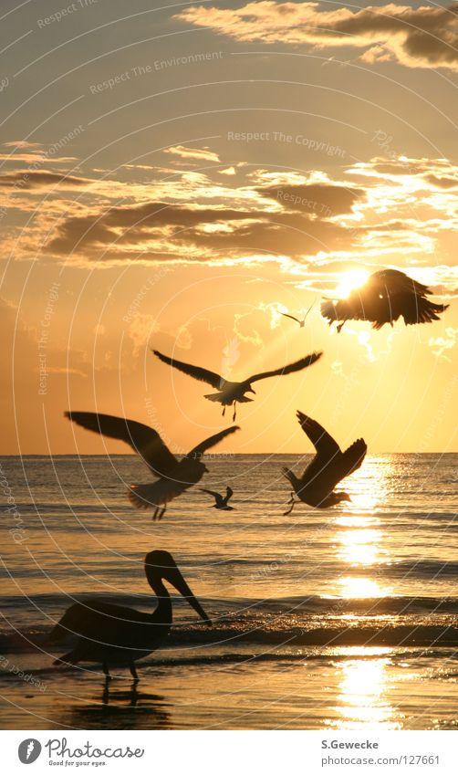 Floridabirds Himmel Meer Strand Vogel USA Sonnenuntergang Möwe Florida Pelikan