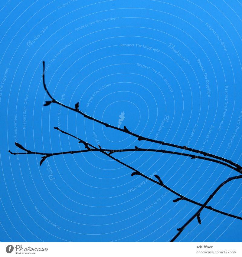 Blaue Stunde I Himmel Baum blau Pflanze Frühling Wachstum einfach dünn Ast zart edel Zweig Blütenknospen zierlich zerbrechlich Neuanfang