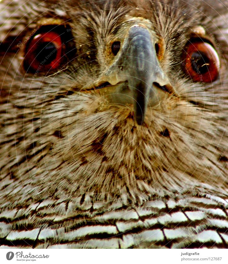 Blick Natur weiß schwarz Auge Tier gelb Farbe braun Vogel Umwelt Feder Streifen Wildtier Schnabel Greifvogel Bussard