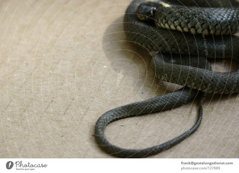 Ge-Ringelnatter Tier Angst beobachten verstecken Panik beweglich Gift Schlange gestreift Ringelnatter
