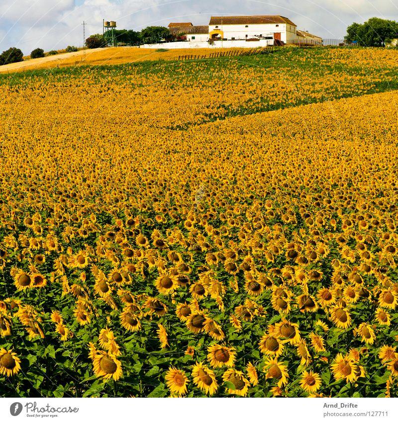 Sonnenblumenfeld V Natur Himmel weiß Blume blau Sommer Haus Wolken gelb Arbeit & Erwerbstätigkeit Frühling Glück Gebäude Landschaft Feld Horizont