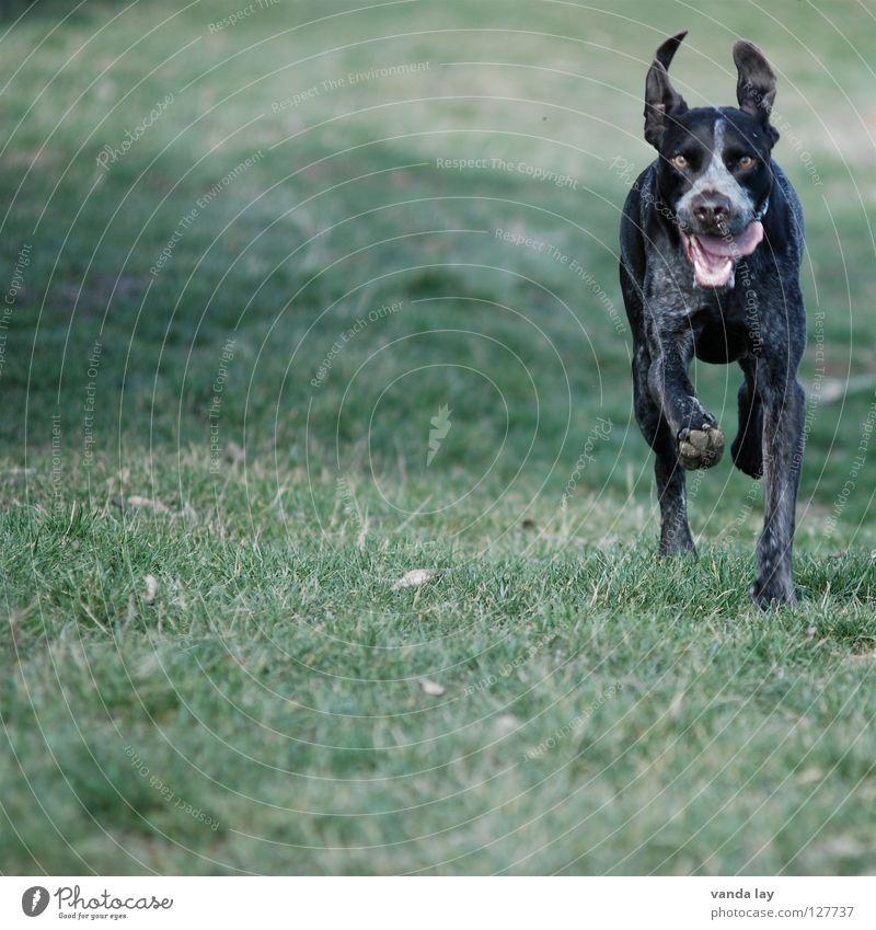 Flatterohr Hund Freude Tier Wiese Gras Luft Wetter braun laufen rennen Spaziergang Rasen Ohr Jagd sportlich Säugetier