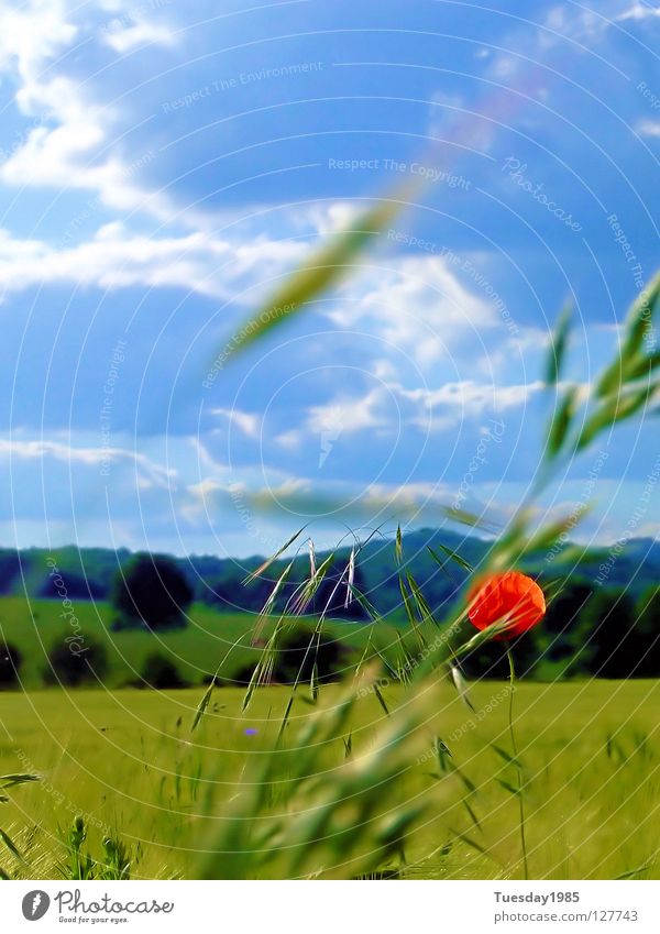 Mohnblumenblau Himmel Natur blau rot Blume Feld Momentaufnahme