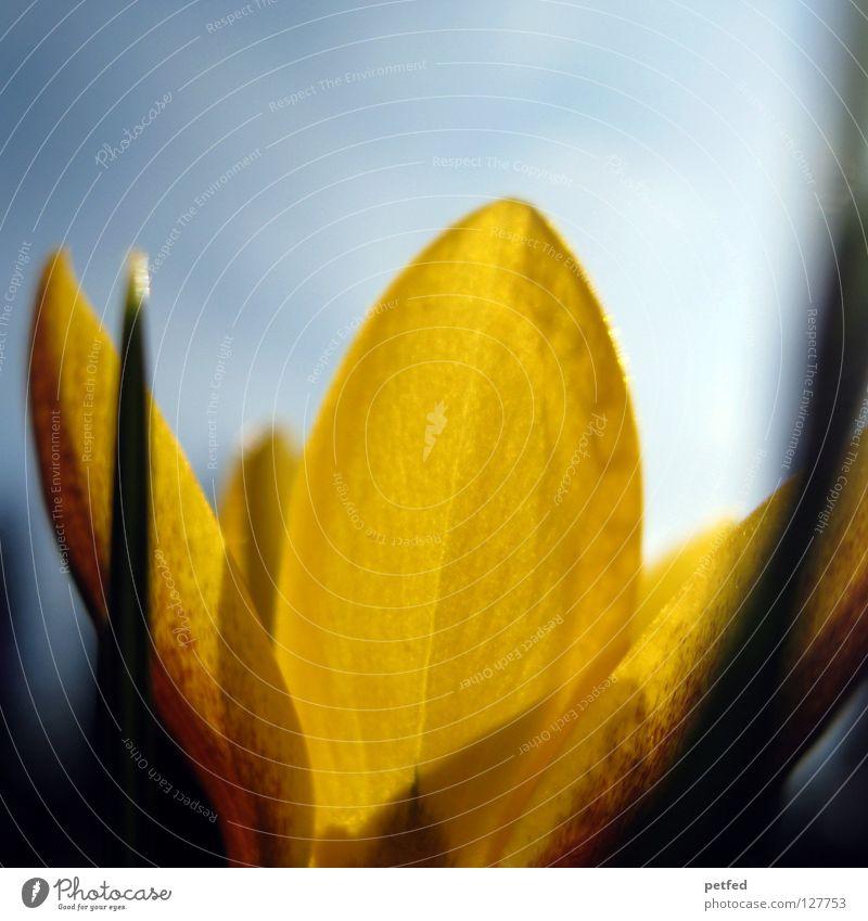 Zartheit Natur Sonne Blume blau Ferien & Urlaub & Reisen Einsamkeit gelb Gras Frühling neu Rasen zart fein aufwachen