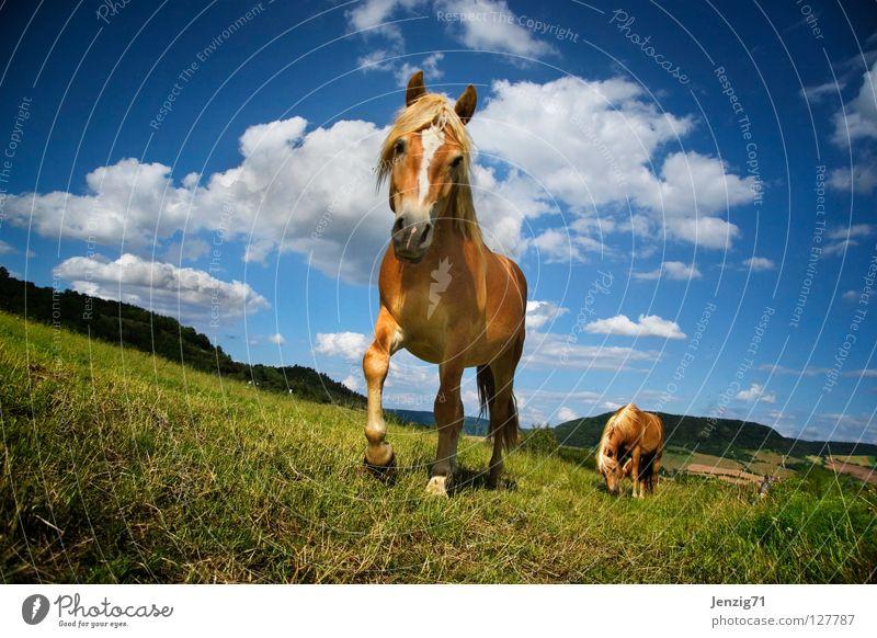 straight on, Wayne. Pferd Weide Gras Wiese Wolken Sommer Haflinger Tier Säugetier Haustier Himmel Sute Reiter Wendy Reitunterricht horse ride on grass sky