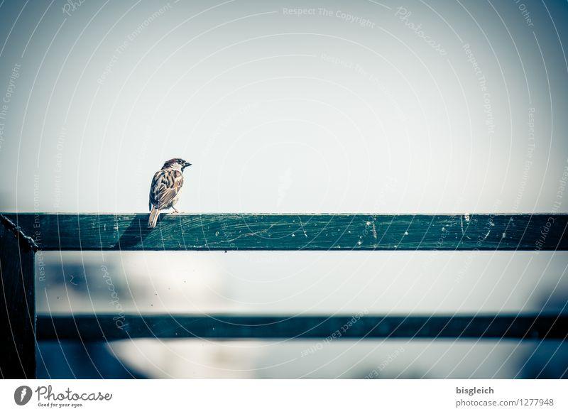 Gute Aussicht für Spatzen Sommer Tier Vogel 1 Blick sitzen klein niedlich blau braun grau grün achtsam Wachsamkeit Neugier Farbfoto Außenaufnahme Menschenleer