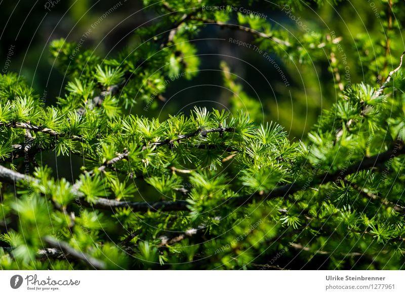 Lärchenzweig Umwelt Natur Pflanze Frühling Baum Zweig Nadelbaum Tannennadel Alpen Berge u. Gebirge leuchten Wachstum frisch natürlich Spitze grün