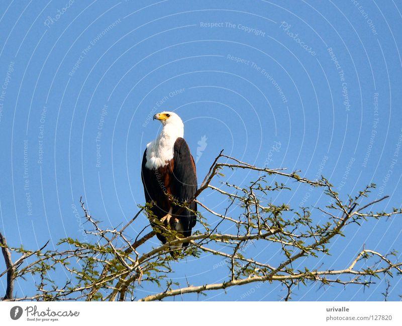 fisher eagle Himmel Malawi Afrika Vogel Fisher Eagle bird sky seek blue tree Leafs fly lake eye africa hot