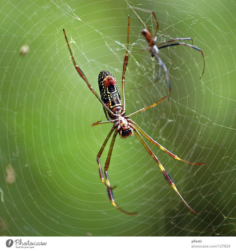 ein ungleiches Paar grün Tier Leben Tod Beine Tierpaar Lebensmittel paarweise gefährlich Ende bedrohlich Netz dünn Vergänglichkeit lang fangen