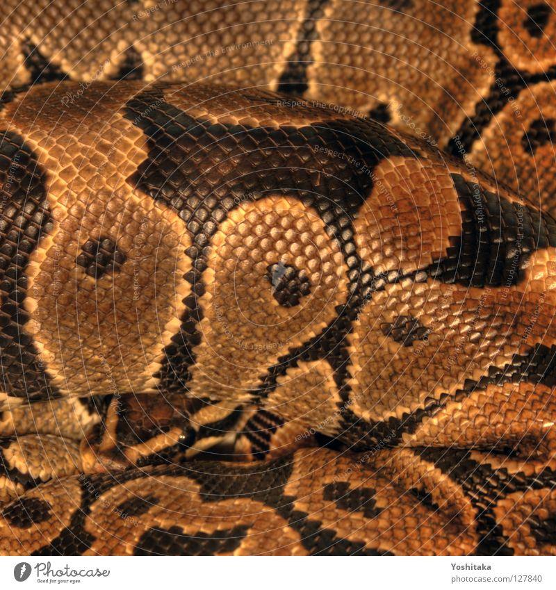 Introvertierte Grazie schön schwarz gelb gold Angst Kreis rund Afrika Respekt Reptil Schlange HDR Terrarium Mörder