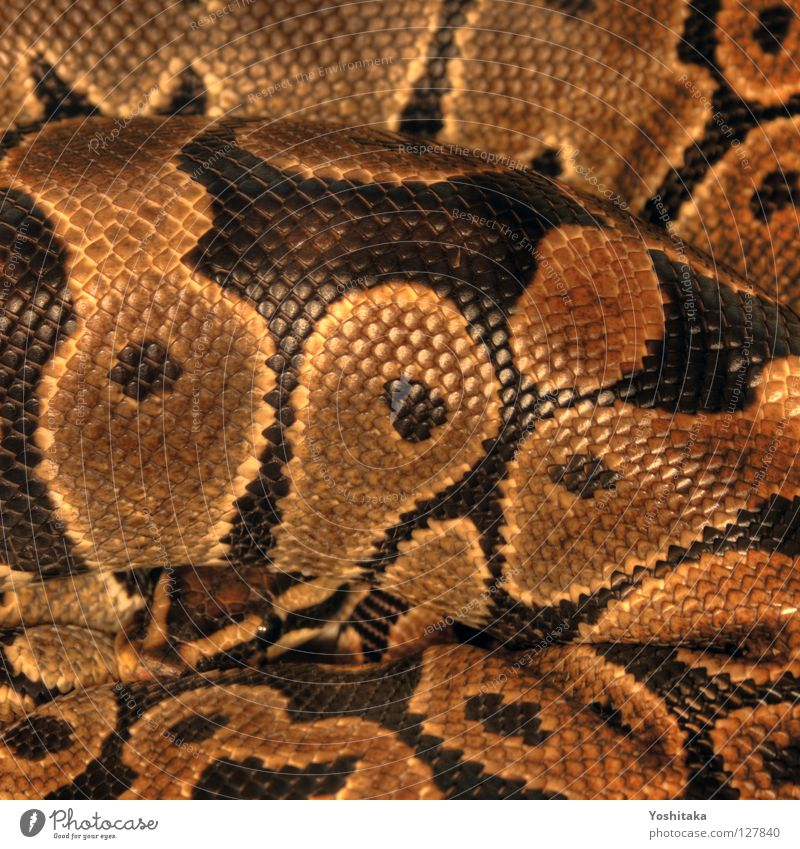 Introvertierte Grazie Terrarium Reptil Afrika schwarz gelb Muster rund Mörder HDR schön Schlange Python Königspython Köpi Ballschlange gold Blick Kreis Respekt