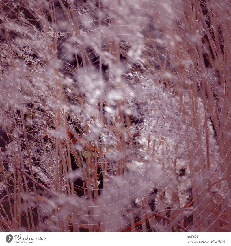 undurchsichtig Gras Frühling violett Pollen