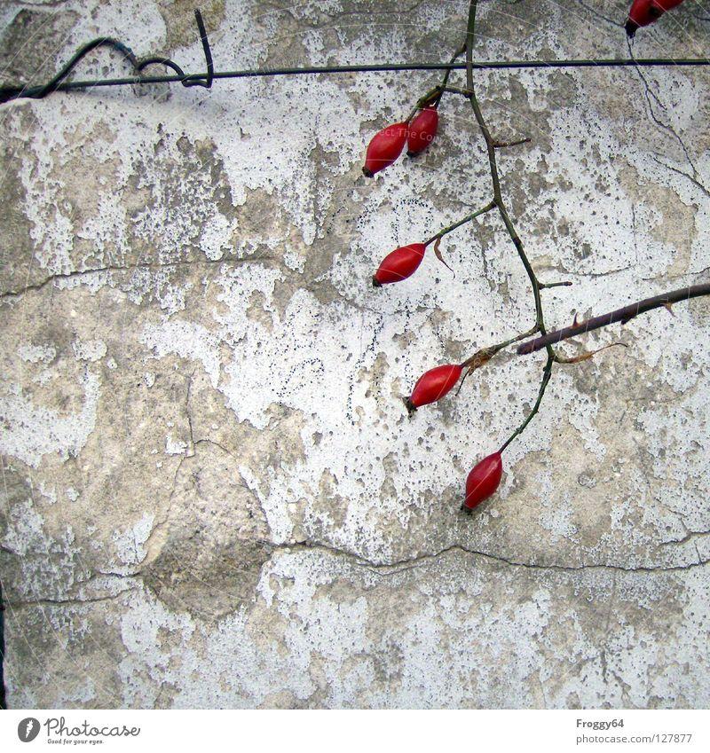 Rote Früchte 2 rot Rose Wand weiß Mauer Dorn Putz Draht Ecke verfallen Beeren Ast Zweig Farbe Riss alt Hundsrose
