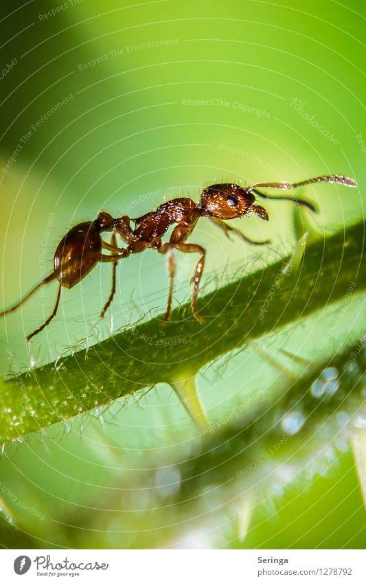 Am Aufstieg ( Ameise ) Natur Pflanze Tier Garten Park Wiese Feld Wald Käfer Tiergesicht 1 Fressen krabbeln Insekt Ameisenstraße Ameisenhügel Farbfoto mehrfarbig