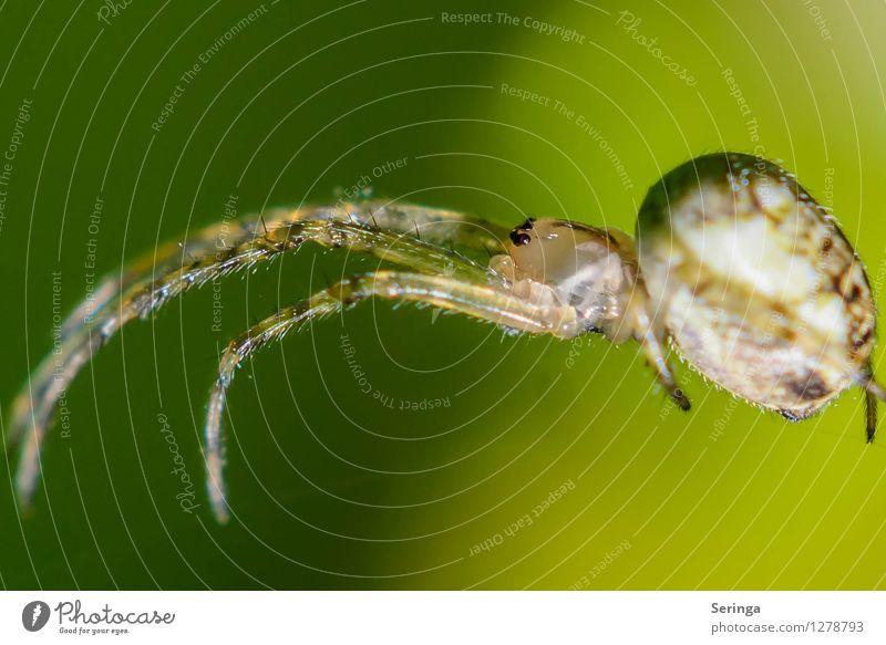 Kreuzspinne Natur Landschaft Pflanze Tier Garten Park Wiese Feld Wald Spinne Tiergesicht 1 krabbeln Insekt Farbfoto mehrfarbig Außenaufnahme Nahaufnahme