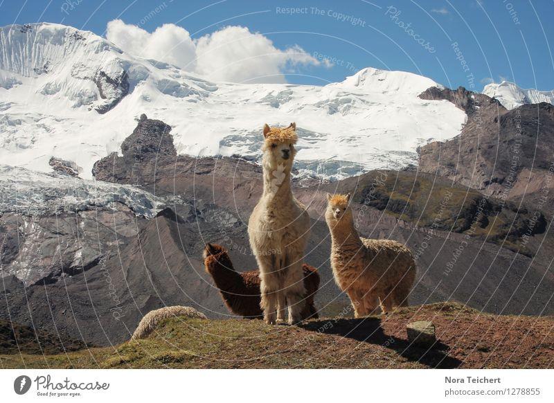 Hello Lamas. Umwelt Natur Landschaft Tier Erde Himmel Wolken Klima Schönes Wetter Schnee Berge u. Gebirge Gipfel Gletscher Peru Südamerika Stein lustig niedlich