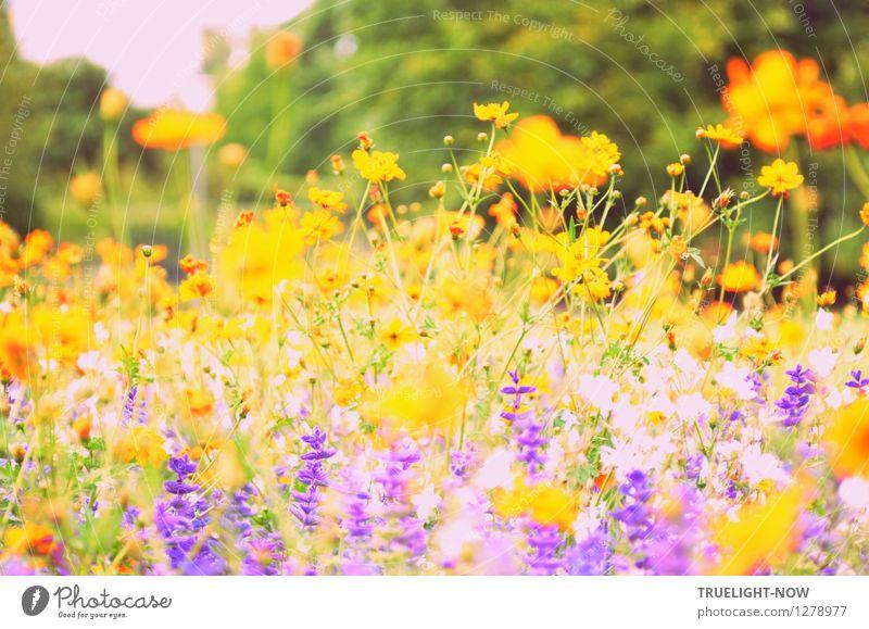 """Heißblütig im August Natur Pflanze Sonnenlicht Sommer Schönes Wetter Blume Blüte """"Sommer-Salbei Prairie-Kerze Cosmea"""" Garten Park Insel"""