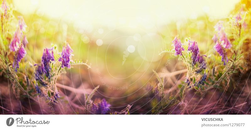 Wilde Felderbsen Blumen Natur Pflanze Sommer Landschaft Blatt Umwelt Blüte Herbst Wiese Hintergrundbild Garten Park Design Schönes Wetter violett