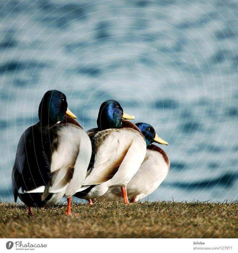 Eines nach dem andern... Erpel Vogel weiß schwarz tollpatschig Meeresvogel Tier Unendlichkeit schön stahlblau tief Außenaufnahme aufgereiht Quaken Ente