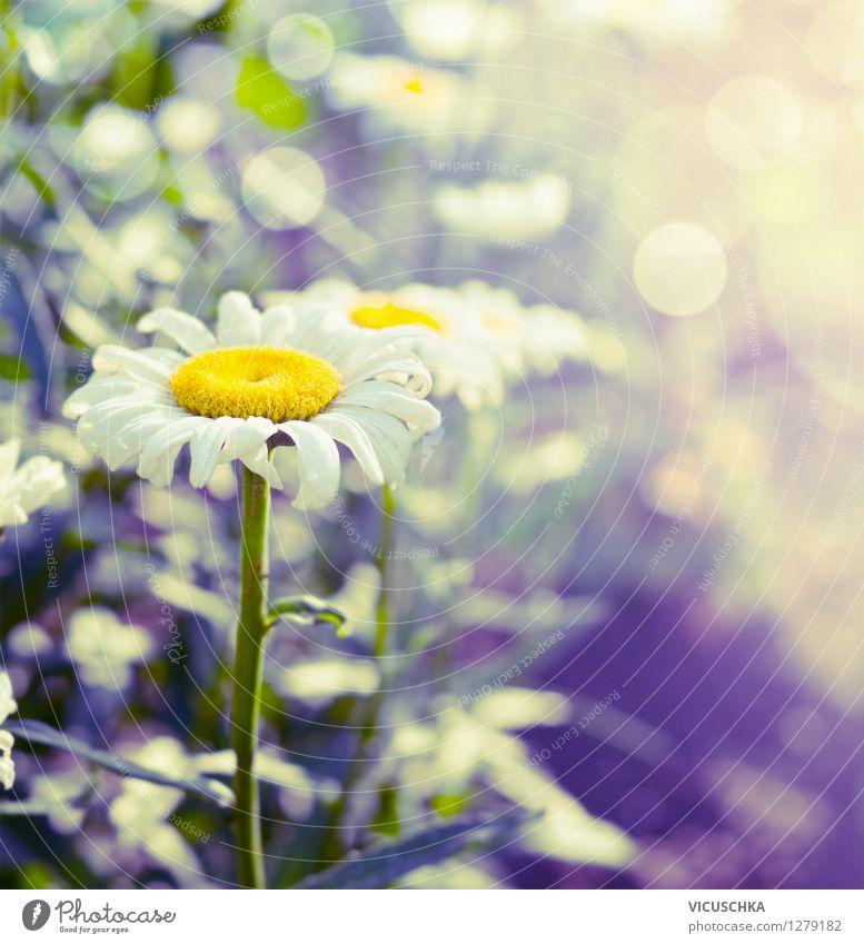 Margeriten im Garten Lifestyle Design Sommer Natur Pflanze Sonnenlicht Schönes Wetter Blume Blatt Blüte Park gelb Hintergrundbild Unschärfe schön Blumenbeet