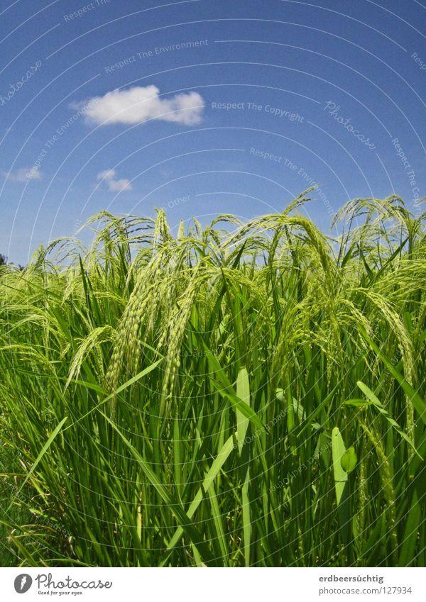 Reisspaziergang Lebensmittel Ernährung Himmel Wolken Wärme Feld blau grün Farbe Ähren Halm Korn Klarheit Ackerbau mehrfarbig Kontrast Asien Landwirtschaft