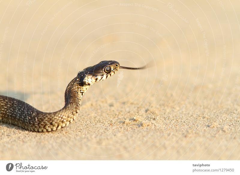 Jugendgrasschlange auf Sand Natur Jugendliche grün Tier Strand schwarz Gras wild Boden Lebewesen Haustier krabbeln Reptil Schlange Jäger